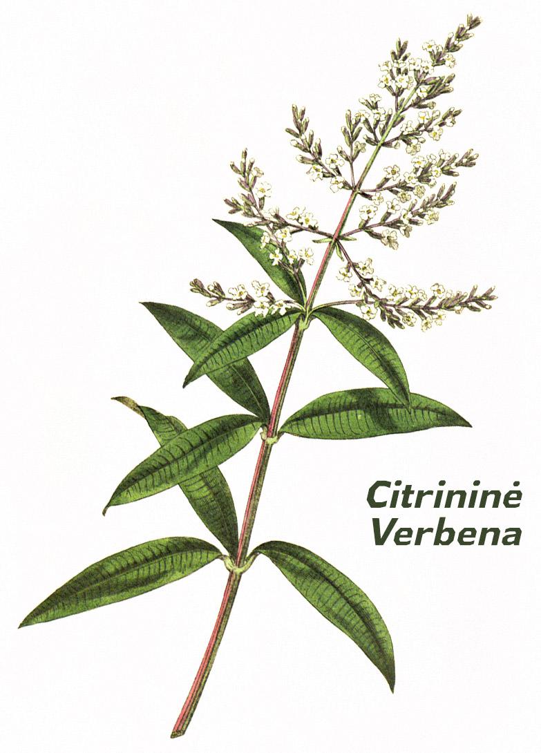 Citrininė verbena botanikoje