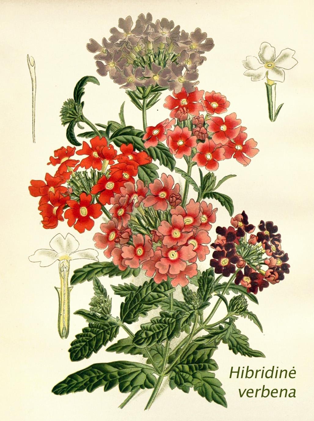 Hibridinė verbena botanikoje