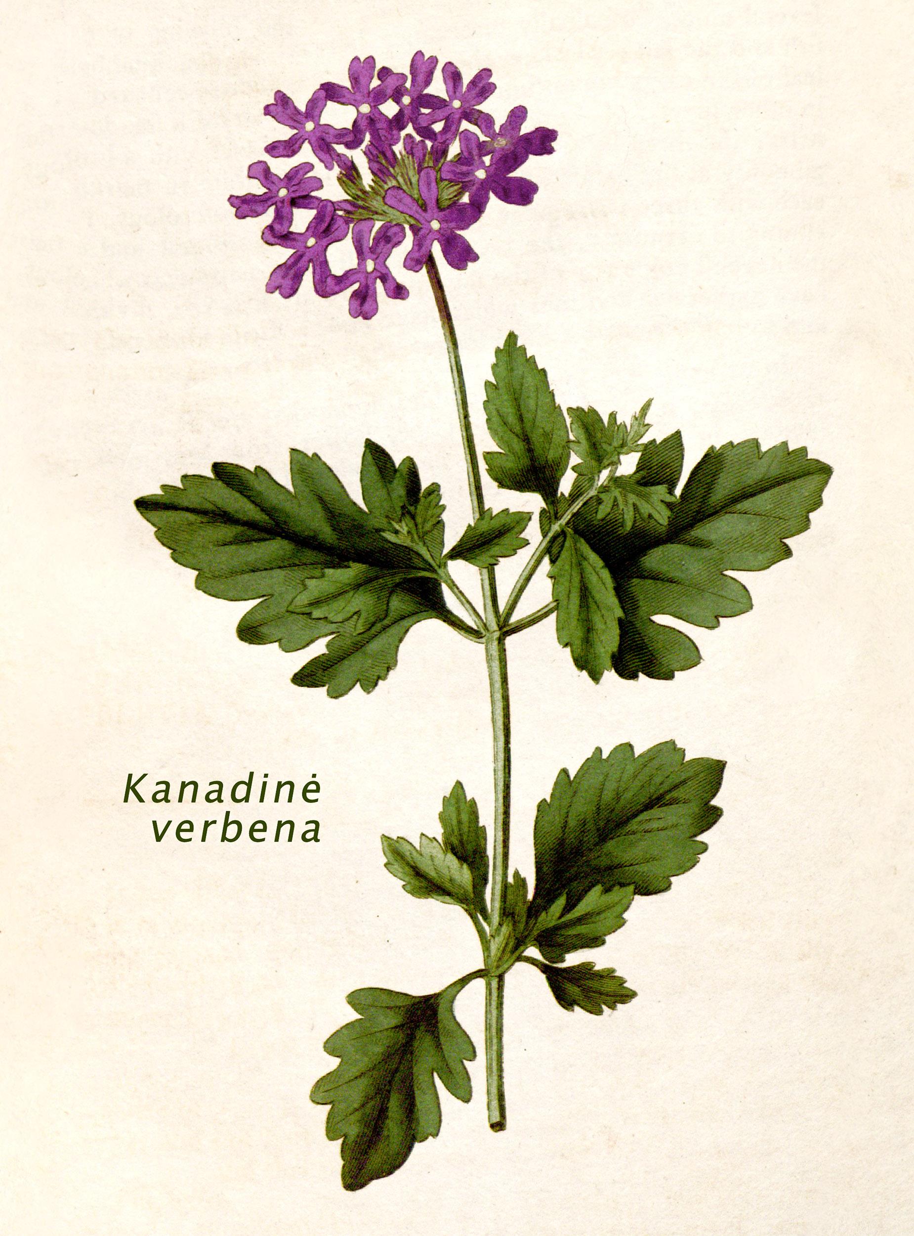 Kanadinė verbena botanikoje