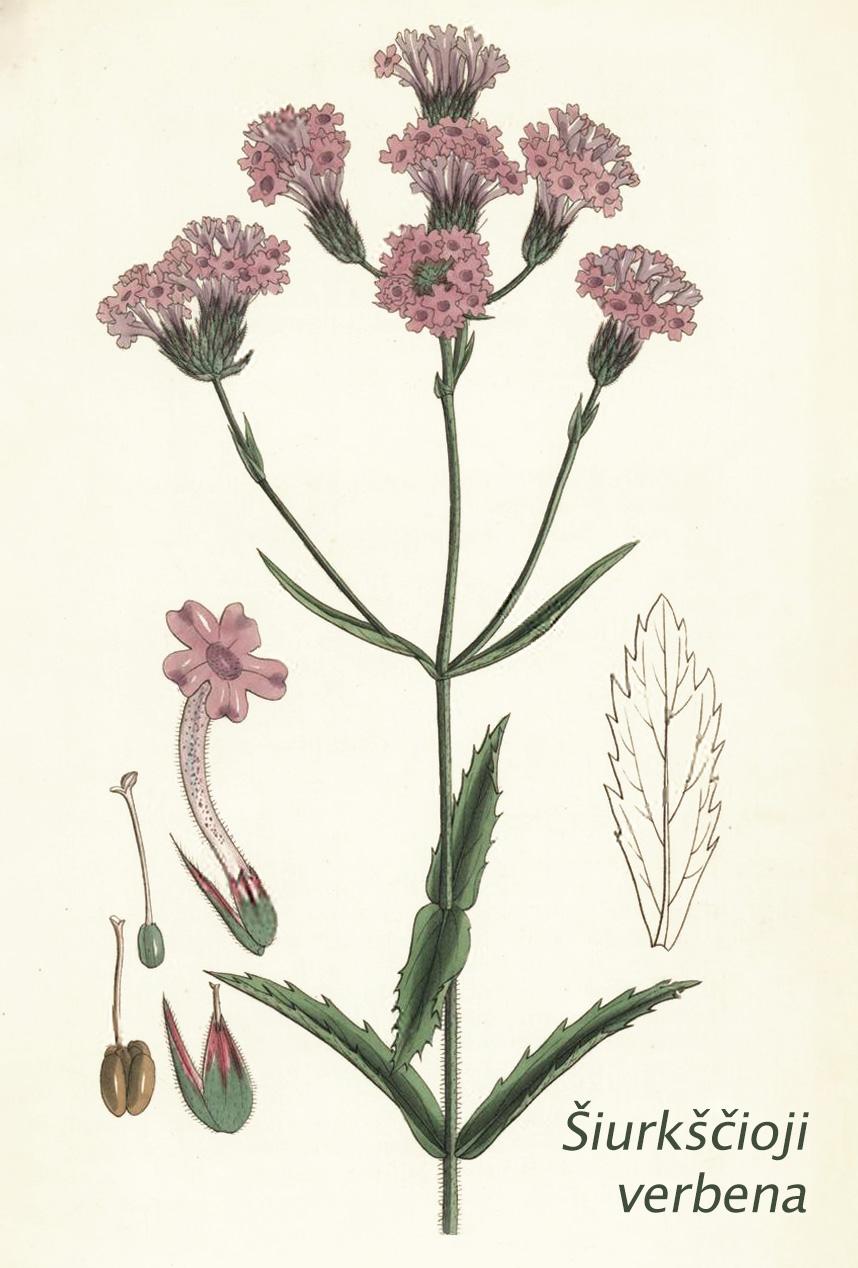 Šiurkščioji verbena botanikoje