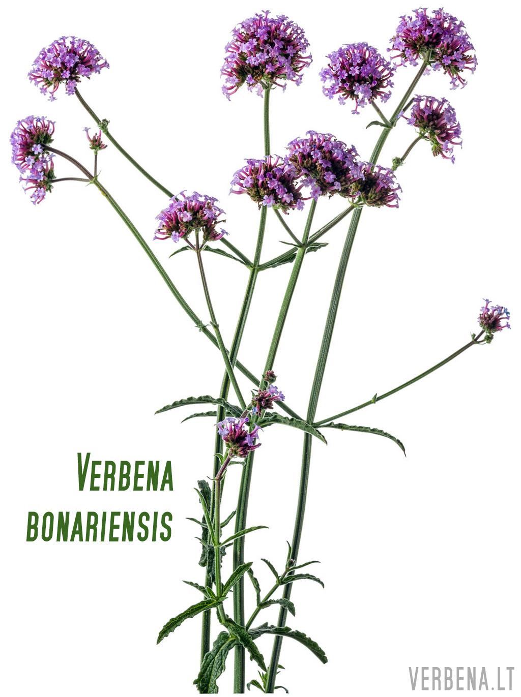 verbena bonariensis botanikoje