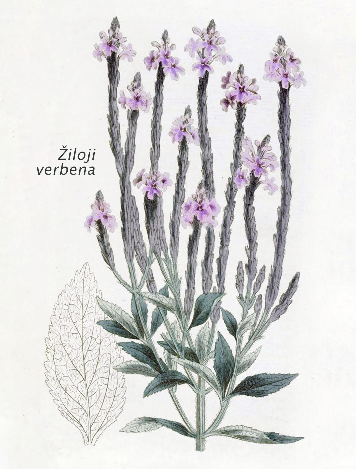 Žiloji verbena botanikoje